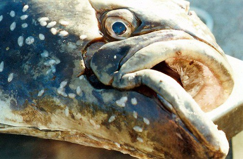 Photo of a halibut face